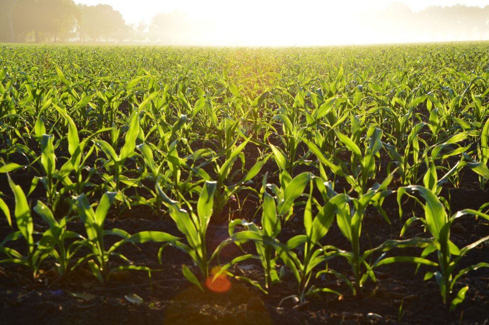agriculture-corn-cropland-96715